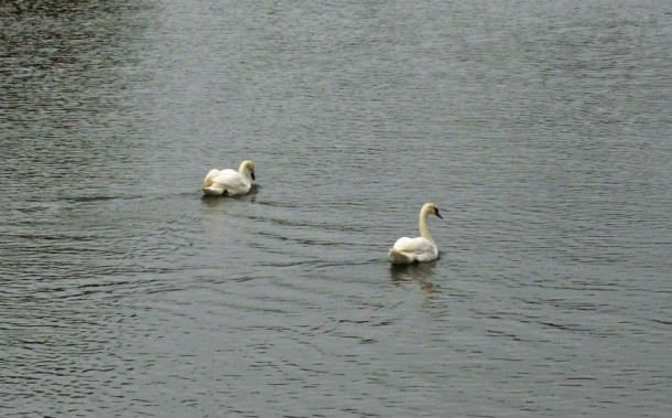 Swans on the Lee