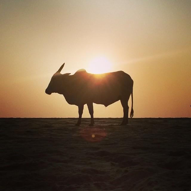 Bull at sunset on Agonda Beach