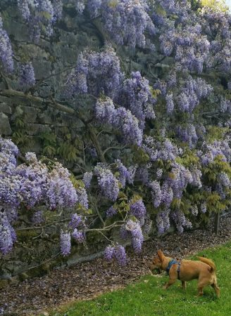 Gobi the Terrier approaches the mysterious wisteria!