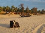A bull at the magic hour on Agonda Beach