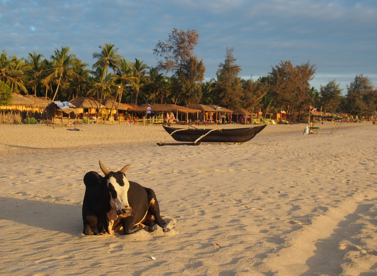 A bull at the magic hour on Agonda Beach