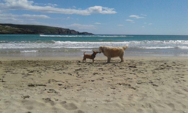 Gobi Terrier makes a dog friend at Barleycove Beach